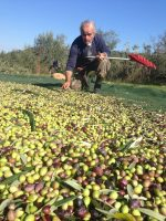 Groves - Papou bending down olive net.jpg