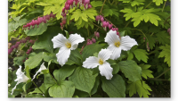 Woodland Trilliums.PNG